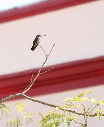 Fotografía de Fauna Urbana, colibrí reposando en una rama
